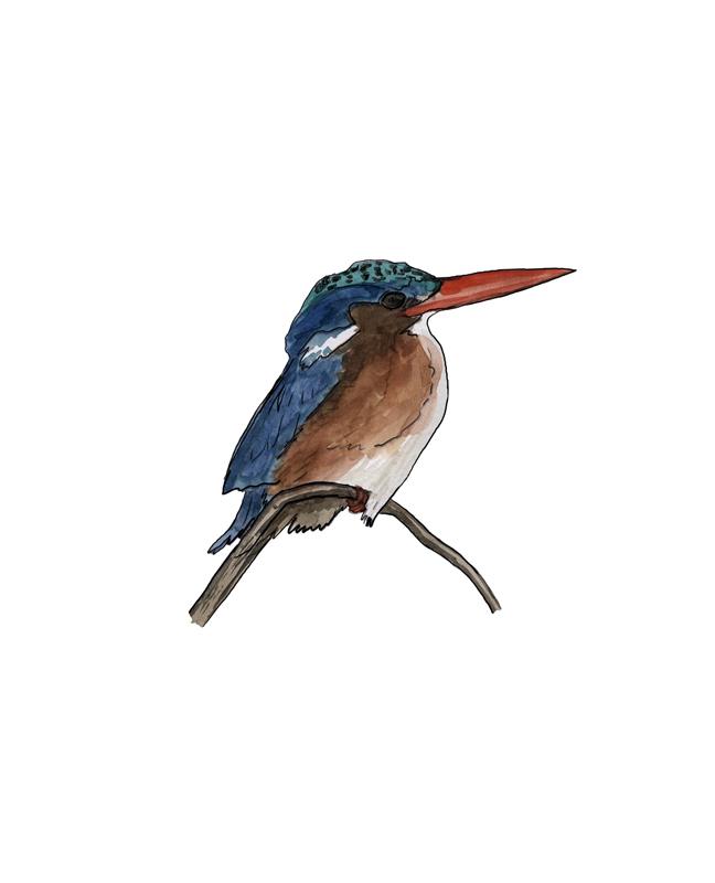 Eisvogel, kingfisher