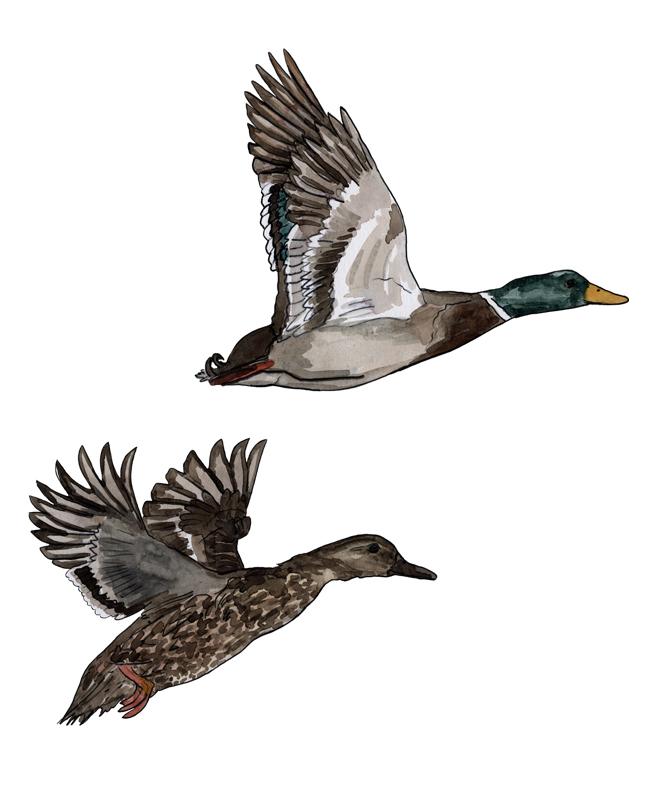 Enten, duck, Illustration Silvia Nettekoven