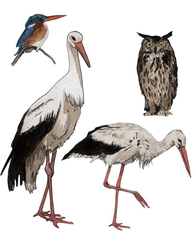 Storch, stork, Uhu eagle-owl, Eisvogel, kingfisher, Illustration Silvia Nettekoven