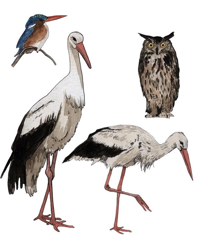 Storch, stork, Uhu eagle-owl, Eisvogel, kingfisher, Illustration Silvia Nettekoven
