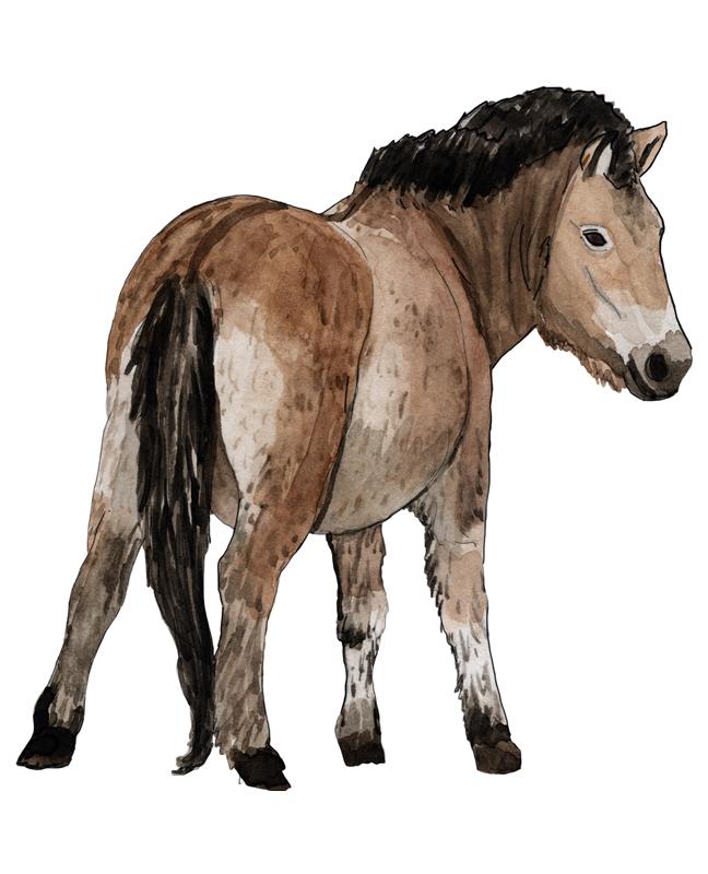 Pferd, horse, Illustration Silvia Nettekoven