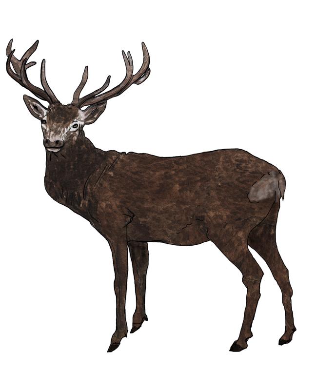 Rotwild, red deer, Illustration Silvia Nettekoven