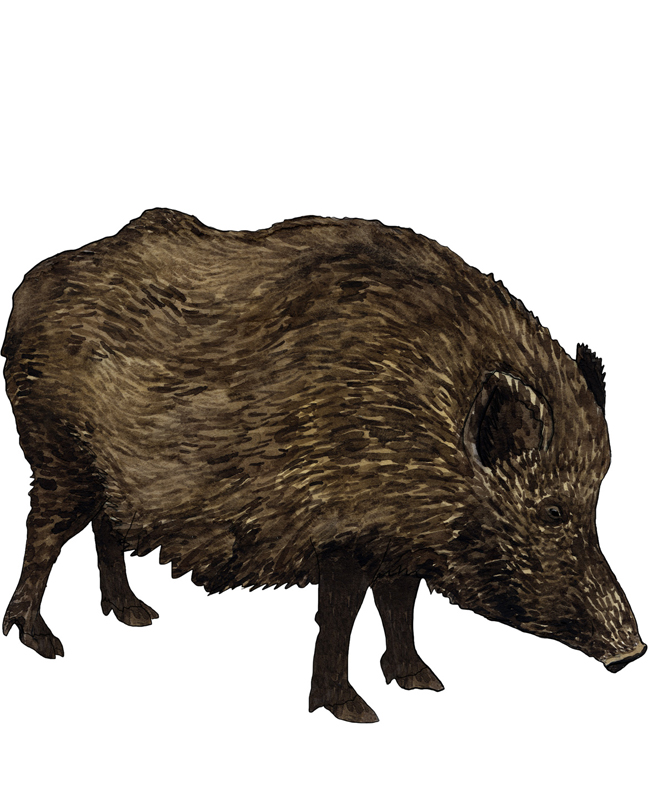 Wildschwein, wild boar, Illustration Silvia Nettekoven