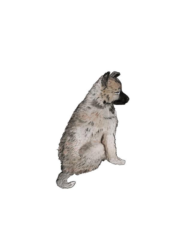 Wolfsspitz Welpe, puppy, Illustration Silvia Nettekoven